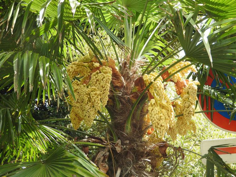 棕櫚の花(しゅろのはな) 散策路 2019/04/28撮影