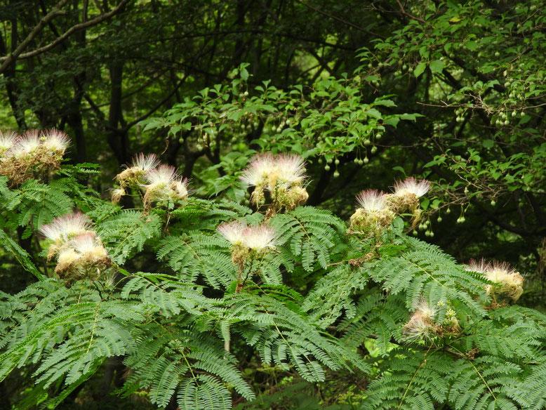 合歓木の花(ねむのき) 散策路 160708撮影