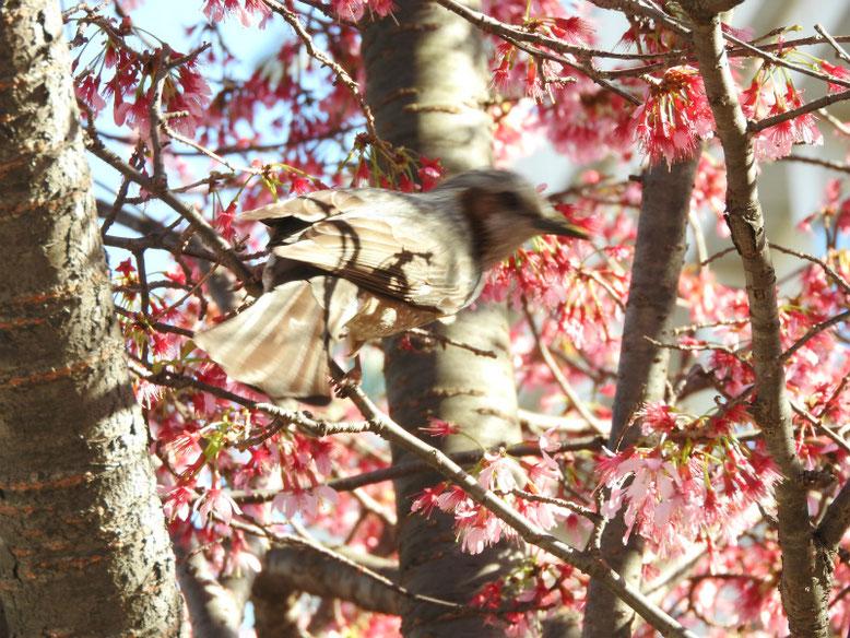 オカメザクラ 散策路公園 2020/03/11撮影