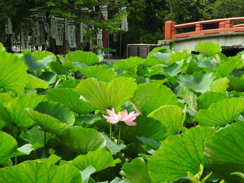 源氏池の蓮の花 170703撮影