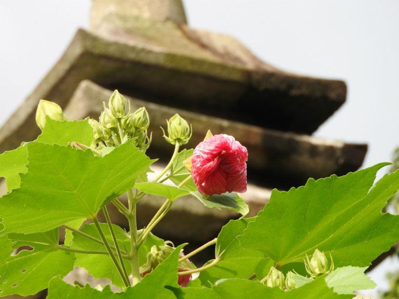 酔芙蓉(すいふよう) 円覚寺 180918撮影