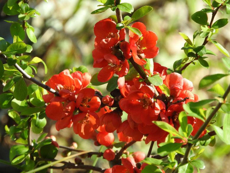 木瓜の花(ぼけのはな) 親水緑道 180317撮影