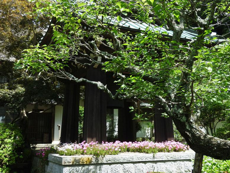 松葉菊(まつばぎく) 海蔵寺鐘堂 180608撮影