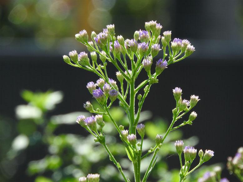 紫苑(しおん) 散策路 180928撮影