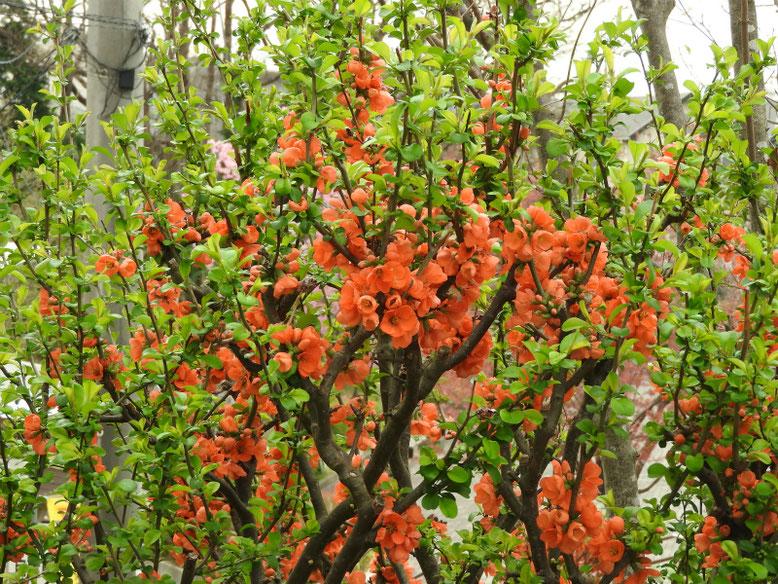 木瓜の花(ぼけのはな) 親水緑道 180324撮影