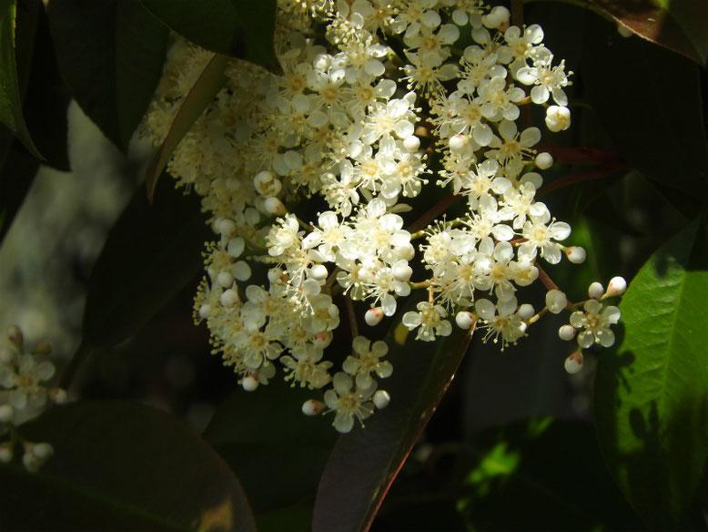 要黐の花(かなめもち) 散策路 170504撮影