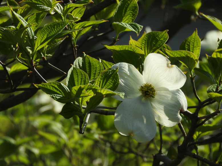 花水木(はなみずき) 散策路 170420撮影