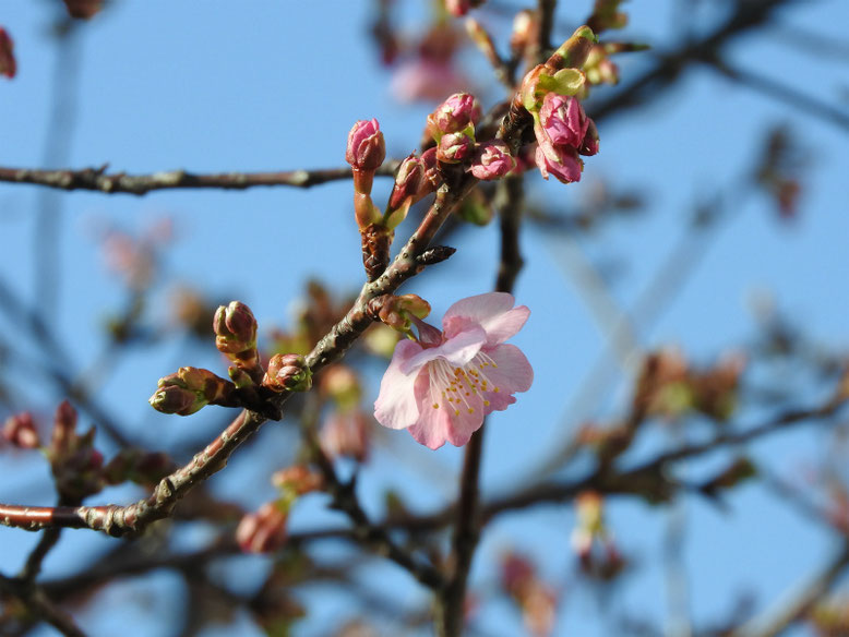 寒桜(かんざくら) 散策路 2020/02/05撮影
