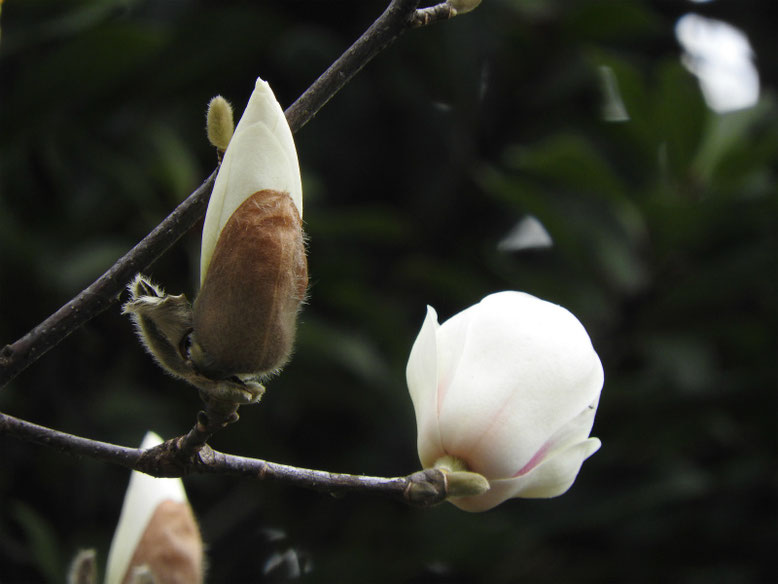 白木蓮(はくもくれん) 散策路 180311撮影