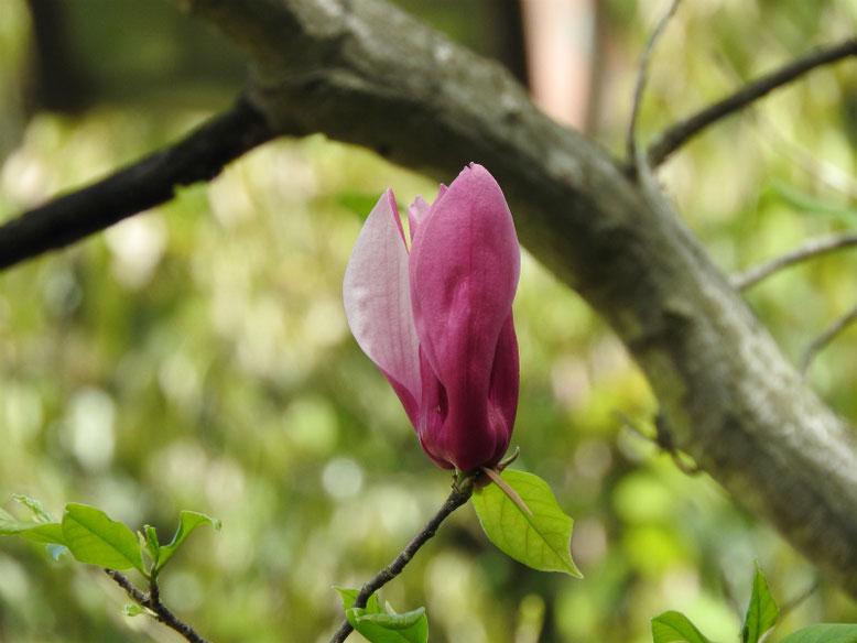 紫木蓮(しもくれん) 散策路 170418撮影