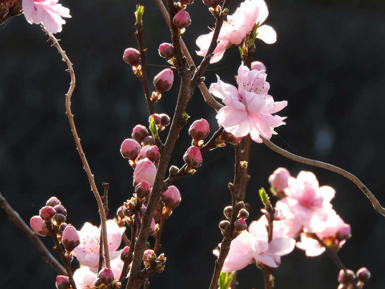 桃の花(もものはな) 散策路 2021/03/17撮影