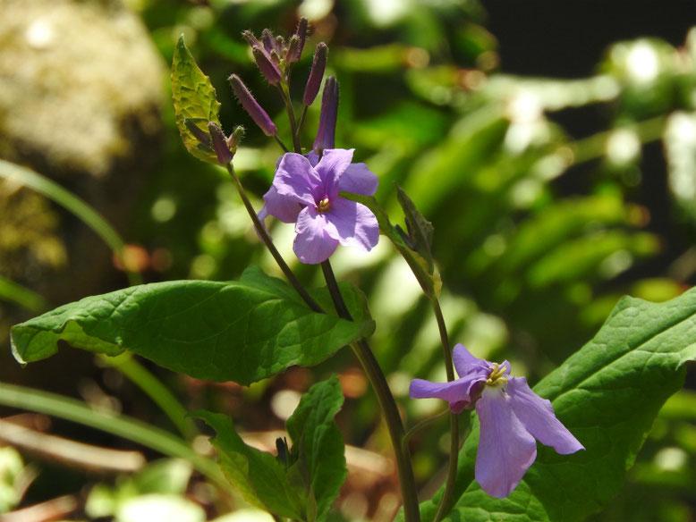 紫花菜(むらさきはなな) 親水緑道 180314撮影