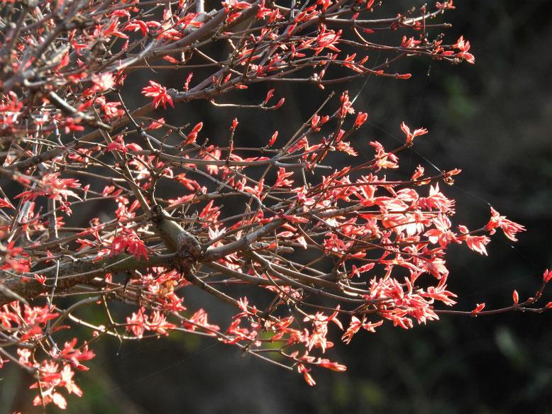 新出猩々(シンデショウジョウ) 散策路公園 2021/03/18撮影