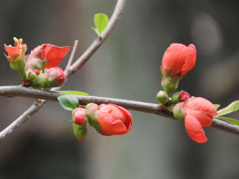 木瓜の花(ぼけのはな) 親水緑道 2021/03/05撮影