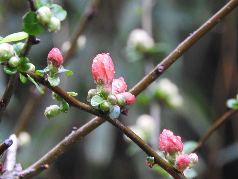 木瓜の花(ぼけのはな) 親水緑道 2021/03/06撮影