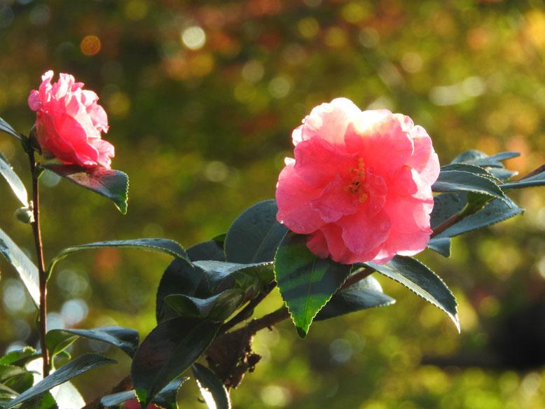 山茶花(さざんか)赤 散策路 161112撮影