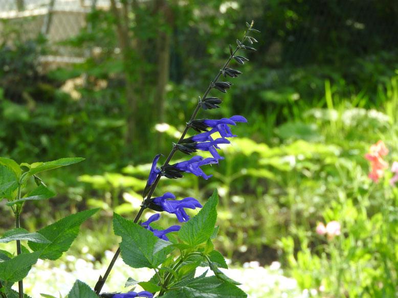 青紫ハーブセージ 散策路 180516撮影