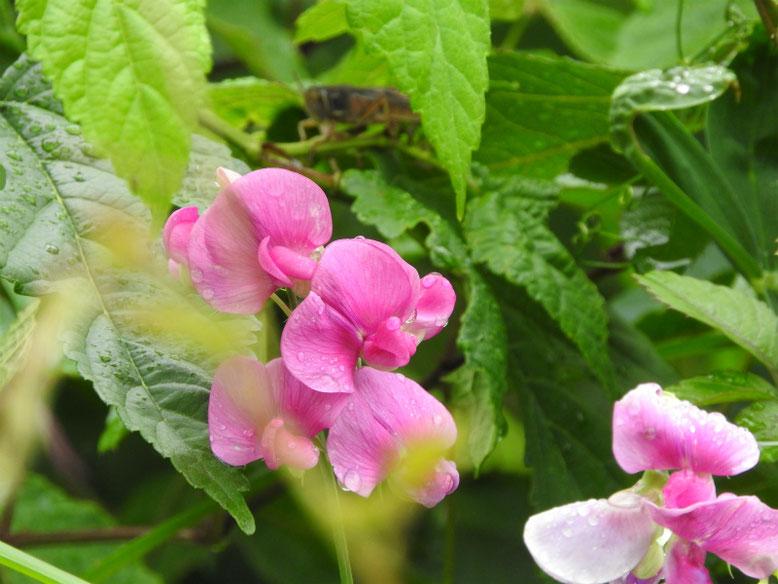 矢筈豌豆(やはずえんどう) 散策路 160609撮影