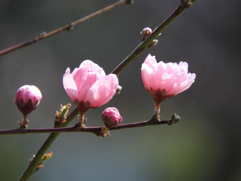 桃の花(もものはな) 散策路 170320撮影