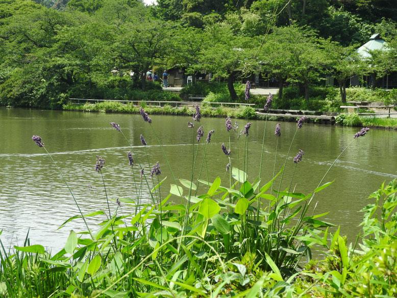 水カンナ 三溪園大池 170620撮影