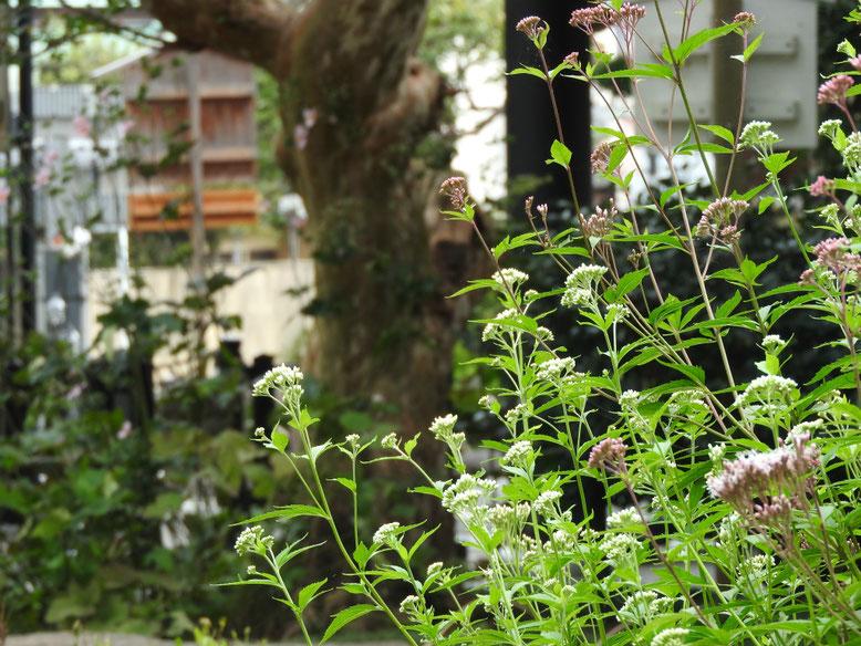 藤袴(ふじばかま)白 鎌倉長谷寺 161002撮影