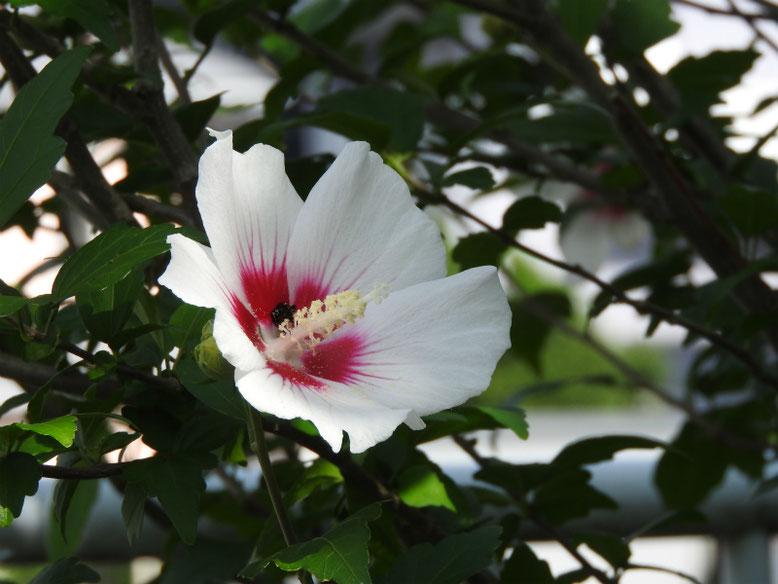 木槿(むくげ) 散策路 2020/07/12撮影