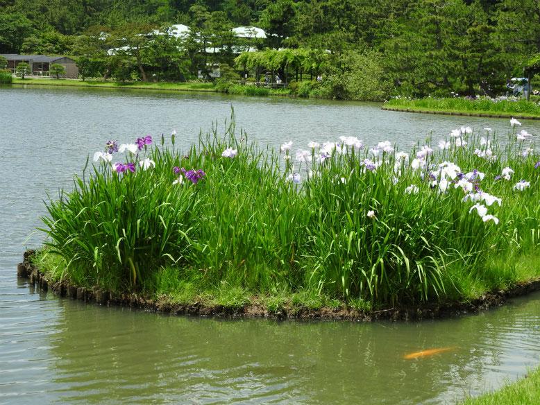 花菖蒲(はなしょうぶ) 三溪園 160617撮影