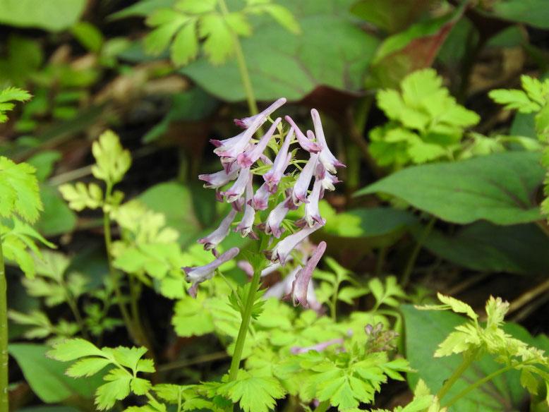 紫紫華鬘(むらさきけまん) 散策路 170418撮影