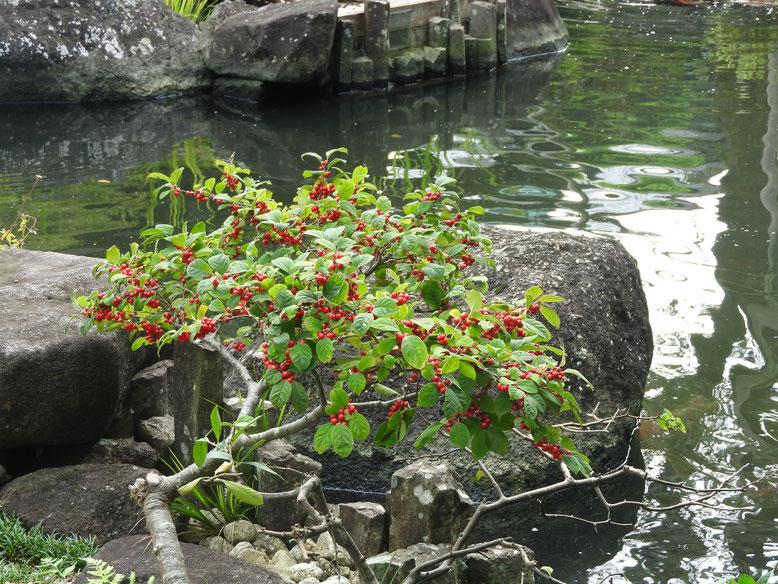 梅擬(うめもどき) 鎌倉長谷寺 161002撮影