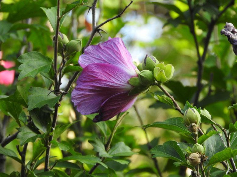 木槿(むくげ)八重咲き ピンク 散策路 170715撮影
