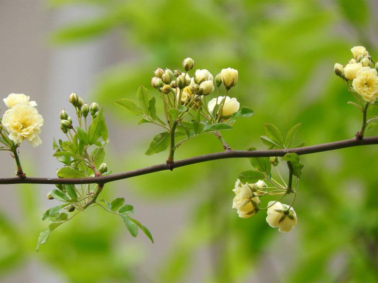 木香薔薇(もっこうばら)黄色 散策路180412撮影