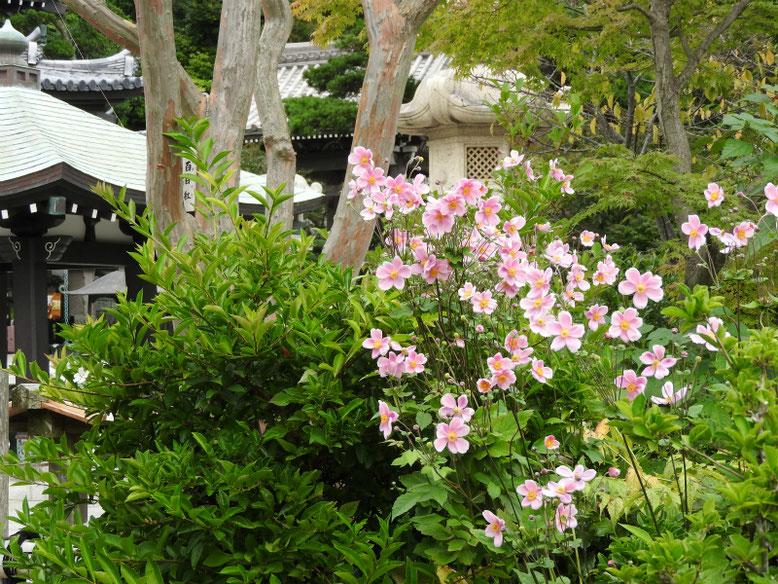 秋明菊(しゅうめいぎく)ピンク 長谷寺本堂前 171005撮影