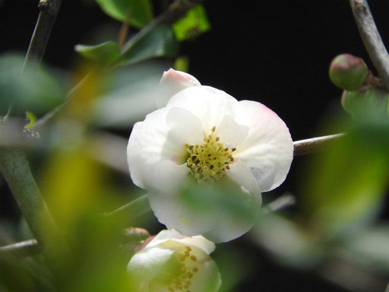 木瓜の花(ぼけ)更紗 散策路 170325撮影