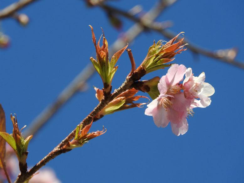 寒桜(かんざくら) 散策路 170207撮影