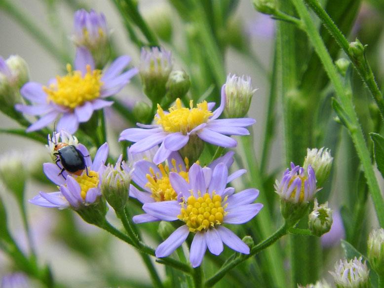 紫苑(しおん) 散策路 160926撮影
