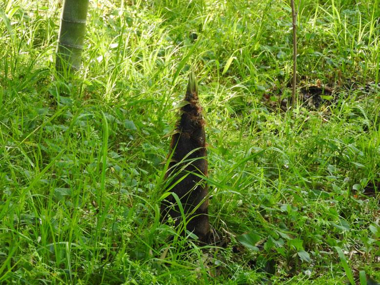 早筍(はやたけのこ)親水緑道 180407撮影