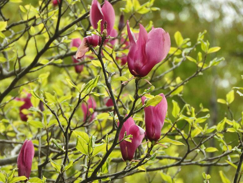 紫木蓮(しもくれん) 散策路 190414撮影