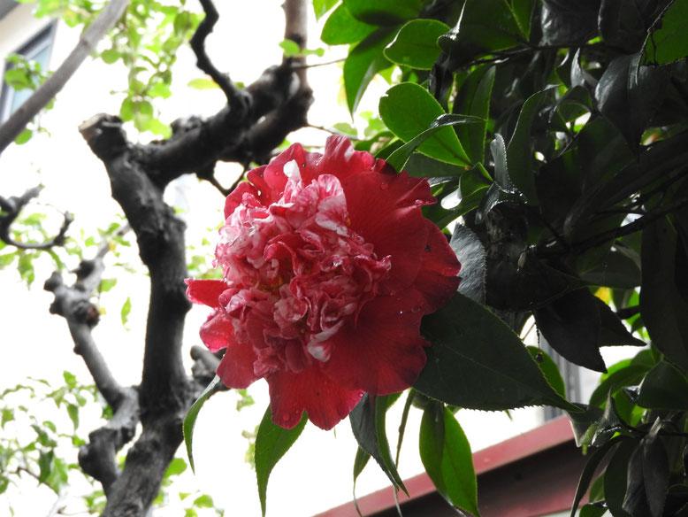 椿(つばき) 実家の庭 161111撮影