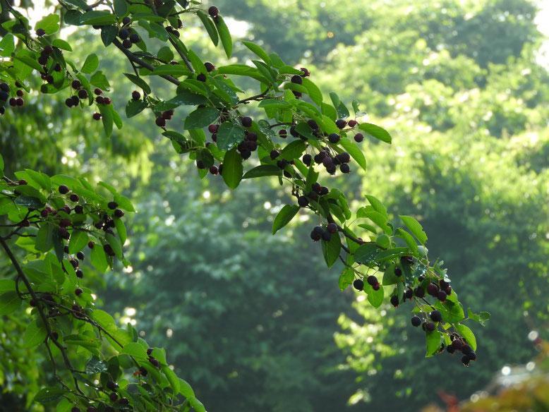 西洋采振り木の実(せいようざいふりぼく) 散策路 170524撮影