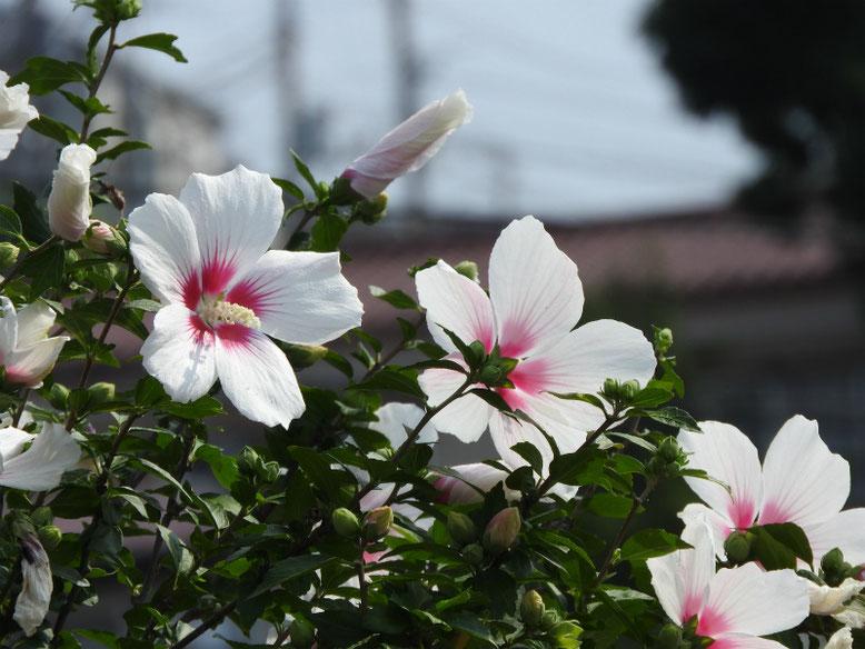 木槿(むくげ) 散策路 170707撮影