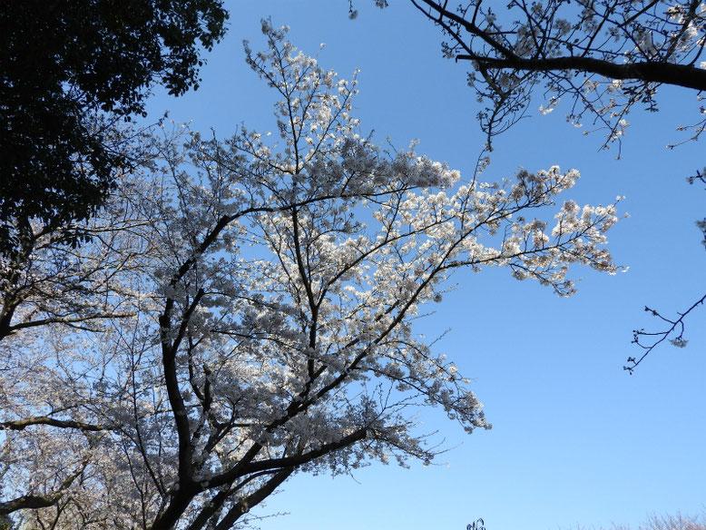 染井吉野(そめいよしの) 散策路 2021/03/26撮影
