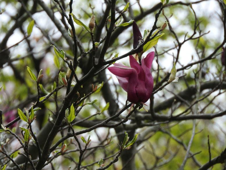 紫木蓮(しもくれん) 親水緑道 2020/04/05撮影