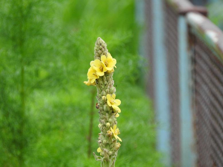 ビロード毛蕋花(もうずいか) 散策路 160708撮影