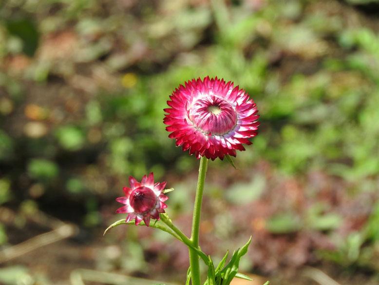 麦藁菊の蕾(むぎわらぎく) 散策路 170527撮影