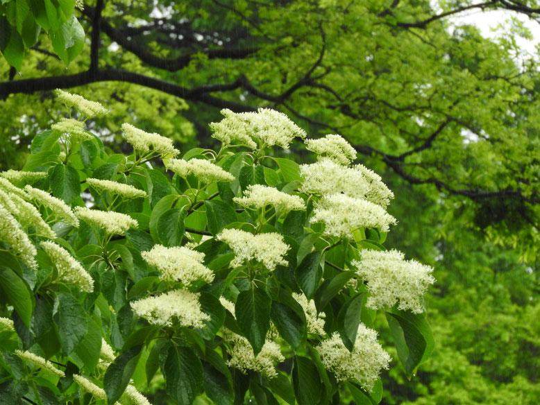水木の花(みずきのはな) 親水公園 219/04/26撮影