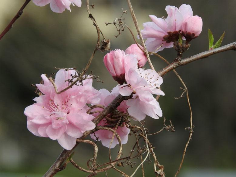 桃の花(もも) 散策路 160329撮影