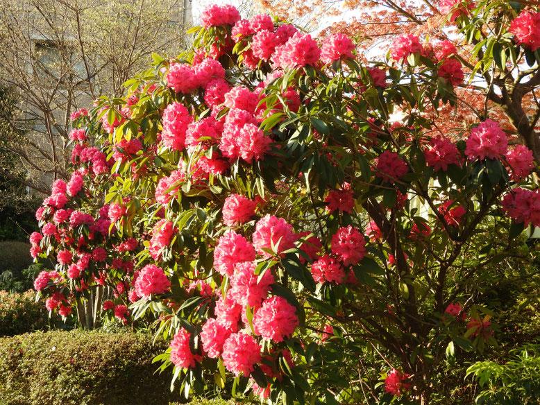 西洋石楠花(せいようしゃくなげ) 散策路公園 2020/04/06撮影