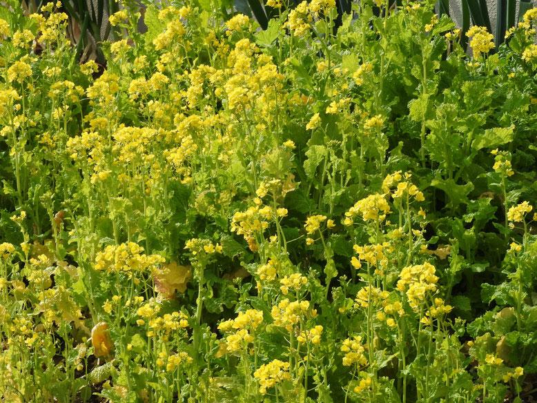 菜の花(なのはな) 散策路 170218撮影