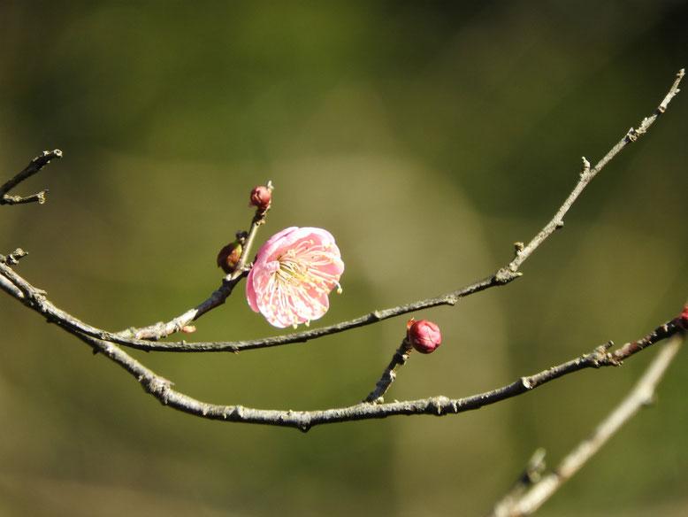 鎌倉瑞泉寺の紅梅 170111撮影