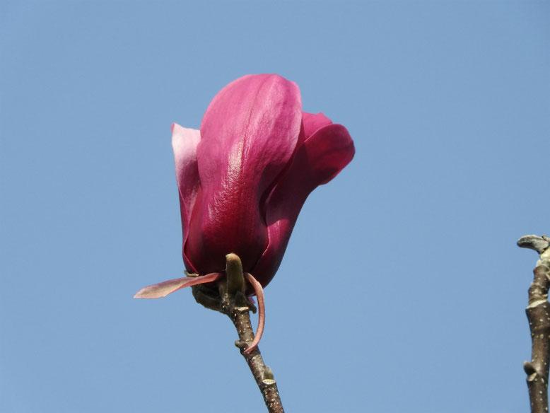 紫木蓮(しもくれん) 散策路 2020/03/21撮影